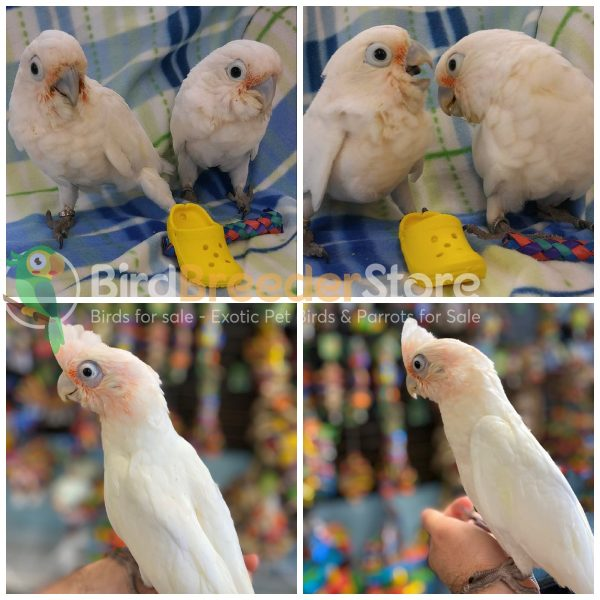 Bare Eyed Cockatoos for Sale