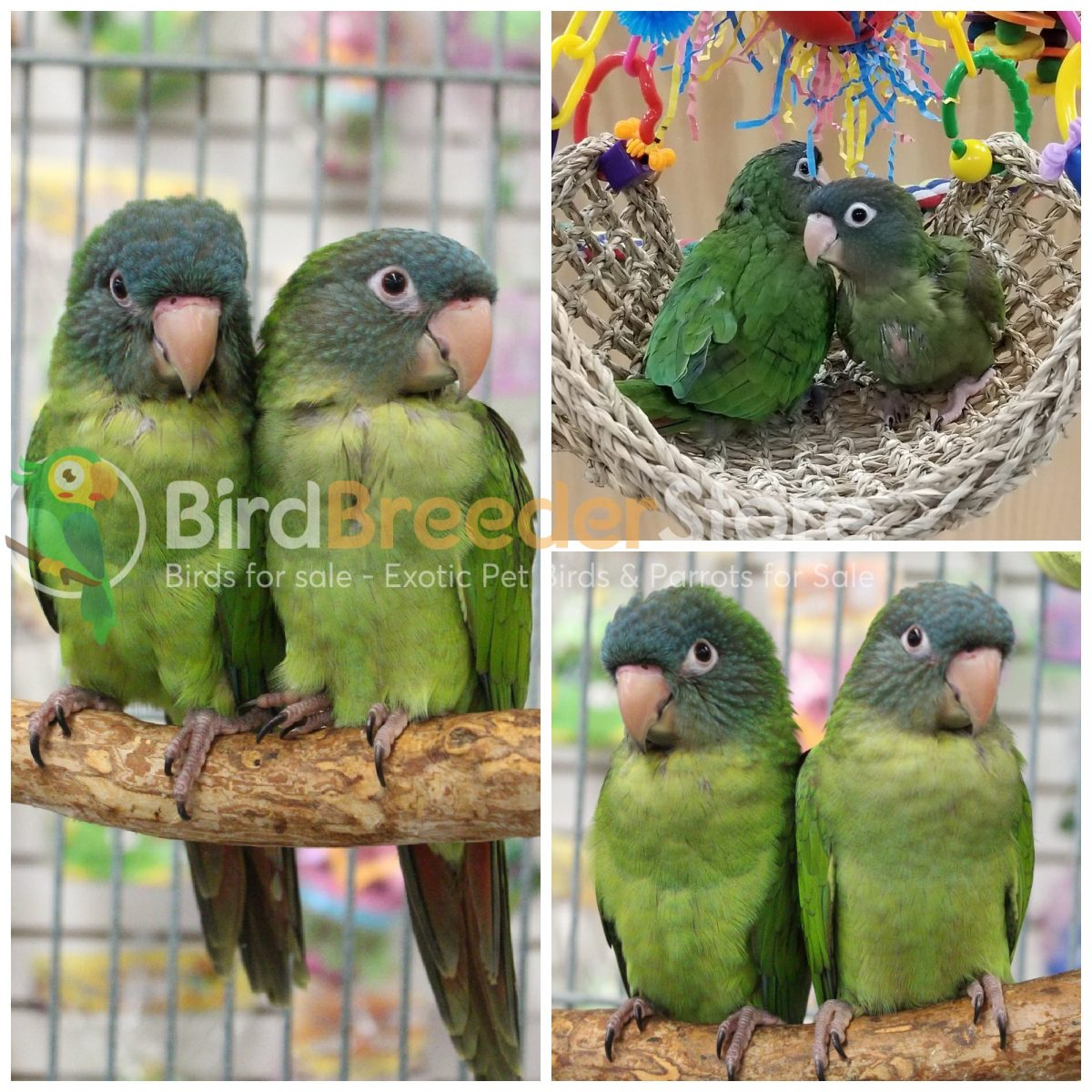 Blue Crowned Conures for Sale