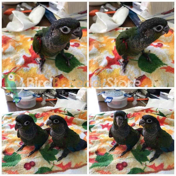Crimson Bellied Conures for Sale