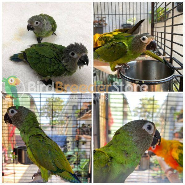 Dusky Conures for Sale