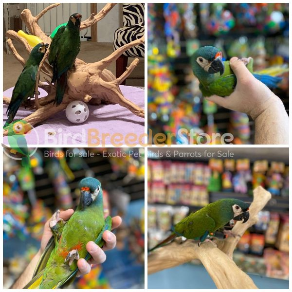 Illigers Macaws for Sale