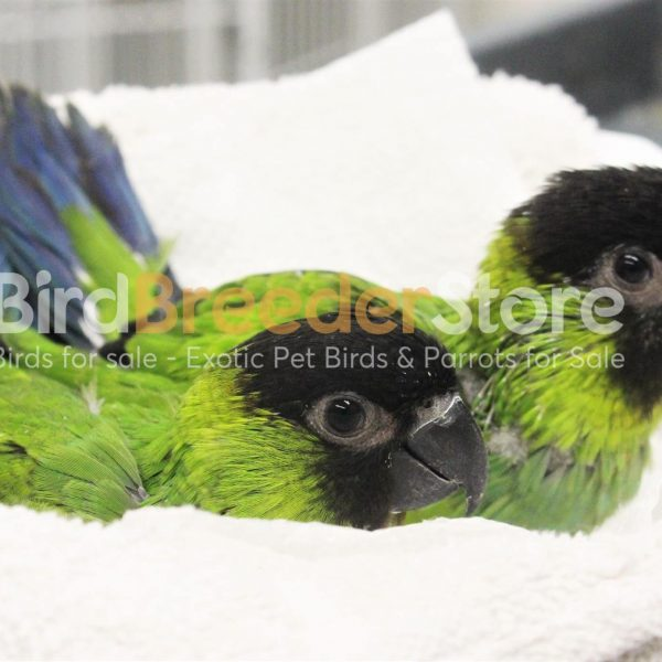Nanday Conures for Sale