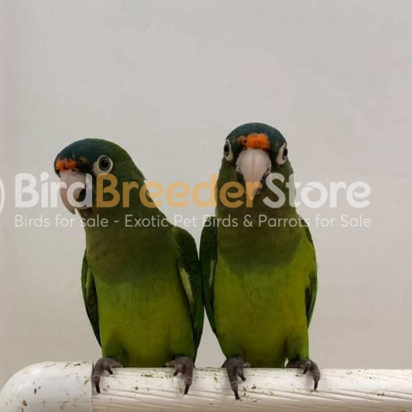Half Moon Conures for Sale