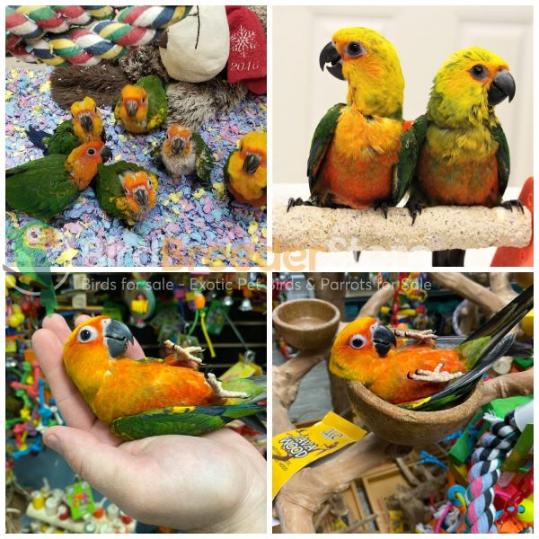 Jenday Conures for Sale