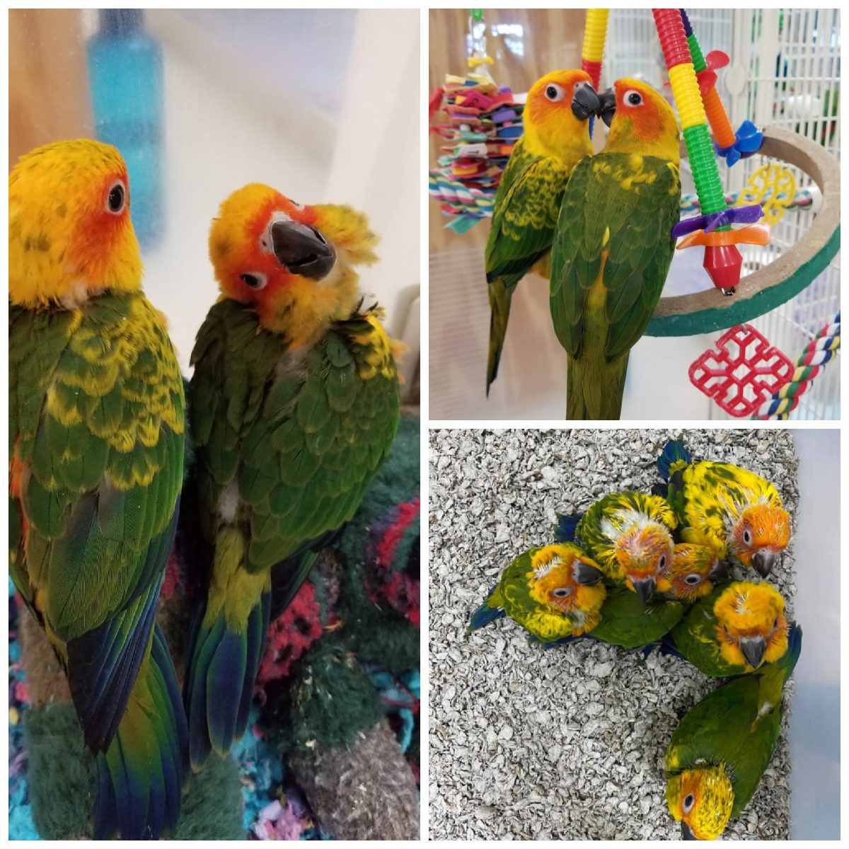 Sun Conures for Sale