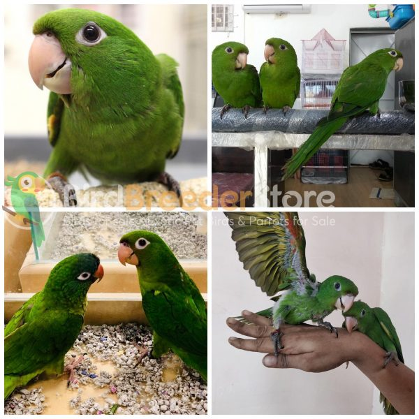 White Eye Conures for Sale